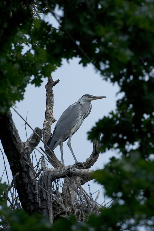 Grey heron (Ardea cinerea) in the forest of durea Domnesca National Park, Moldova