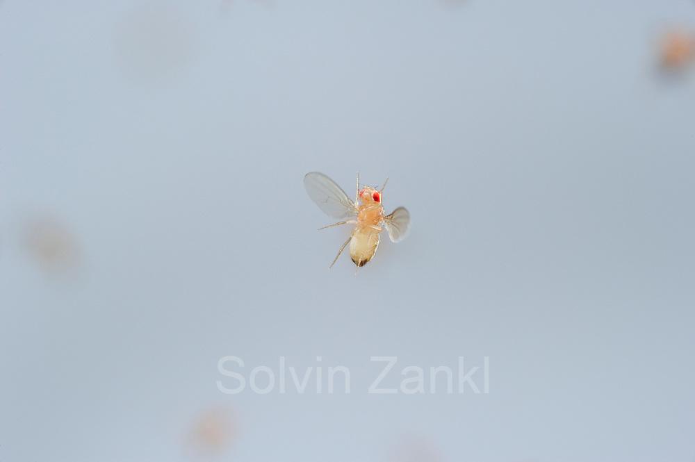 Wild type Fruit Fly (Drosophila melanogaster) in filght in a lab culture. | Eine schillernde Erscheinung, tausendmal gesehen, doch aufgrund der geringen Größe nie gewürdigt: eine Taufliege (Drosophila melanogaster) im Flug. Die Vergrößerung offenbart extremste Flugmanöver, Ausgleichsbewegungen mit Beinen und Körper und dabei der perfekte Rundumblick.