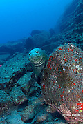 Hawaiian monk seal, Monachus schauinslandi ( critically endangered and endemic to Hawaiian Islands ), Lehua Rock, near Niihau, off Kauai, Hawaii, USA ( Central Pacific Ocean )