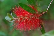 Red Bottle Brush, Callistemon Citrinus, Kula Botanical Garden, Upcountry, Maui, Hawaii