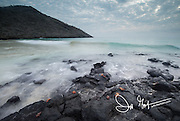 Sally lightfoot crabs walk along volcanic rock on a beach on Floreana island, Galapagos, Ecuador.