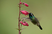 White-eared Hummingbird (Hylocharis leucotis).Endemic of mountains of Central America