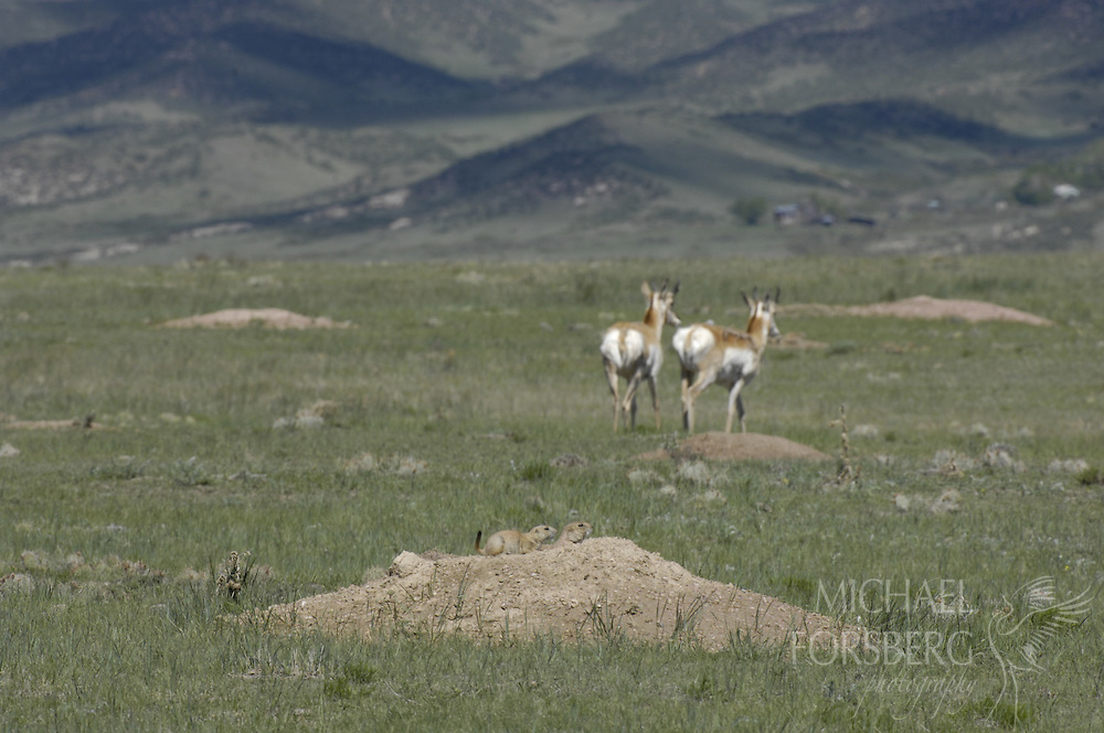 Hight Plains, shortgrass prairie region - Front Range, CO..Two Pronghorn move through a Black-tailed prairie dog town.....