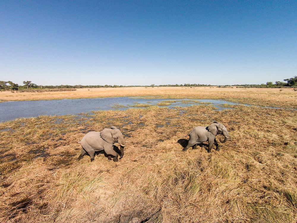 Africa, Botswana, Moremi Game Reserve, Aerial view of Elephants (Loxodonta africana) walking in wetlands in Okavango Delta in Kalahari Desert