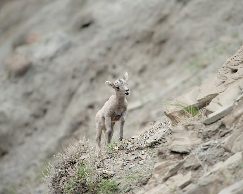 A newborn Bighorn lamb calls out to his mother, Yellowstone National Park, Wyoming