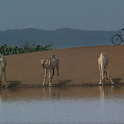 CHEMERIL, Kenya -- August 15, 2006 --  A camel looks up form his drink from the Chemeril Dam oasis as a local man rides by on his bike. <br />