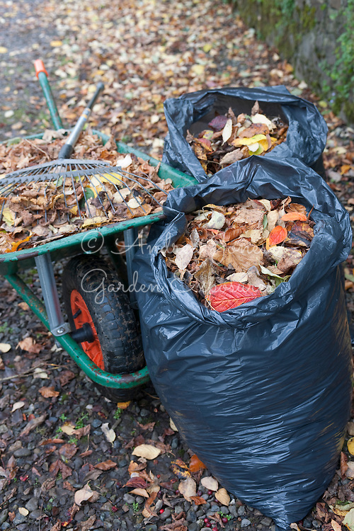 Raking and collecting autumn leaves