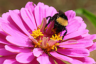 Bumblebee checking the zinnia