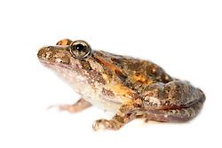 [captive] Tyrrhenian Painted Frog (Discoglossus sardus), Sardinia, Italy   Der Sardische Scheibenzüngler (Discoglossus sardus) trägt, wie die anderen Arten der Scheibenzüngler, seinen Namen aufgrund der rundlichen, am Mundboden festgewachsenen Zunge. Er kann sie nicht, wie die Arten der höheren Froschlurche, zum Beutefang herausschleudern.