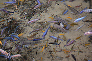 This is a photograph of a grouping of Cichlids.
