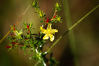 This is a very common member of the St. John's-wort family, growing here in the Big Cypress National Preserve.