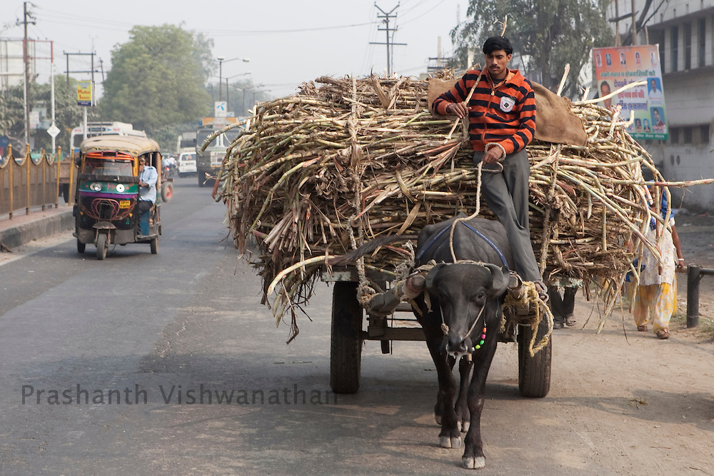 A farmer transports cut sugarcane stalks on a bullock cart to a nearby sugar mill in the outskirts of Modi Nagar, in Uttarpradesh, India, on Friday, November 12, 2010. Photographer: Prashanth Vishwanathan/Bloomberg News
