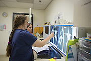 Great Egret<br /> Ardea alba<br /> Becky Duerr, Veterinarian, looking at Xray of chick that was hit by car<br /> International Bird Rescue, Fairfield, CA