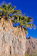 Palm oasis at the visitor center, Anza-Borrego Desert State Park, California USA