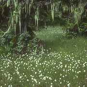 Wet meadow with Alaska cotton grass and dwarf trees, Port Houghton, Southeast Alaska, USA.<br />