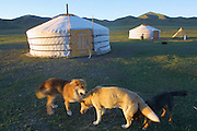TERELJ, MONGOLIA..09/04/2001.Dogs playing in front of gers at sunset..(Photo by Heimo Aga)