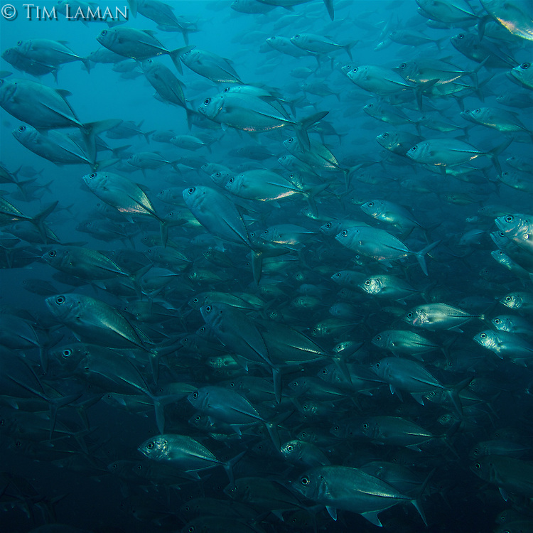 Large school of Bigeye Crevalle Jack (Caranx sexfasciatus) circle near a seamount.<br />