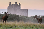 Stag and Deer in the mist in front of Lochranza Castle