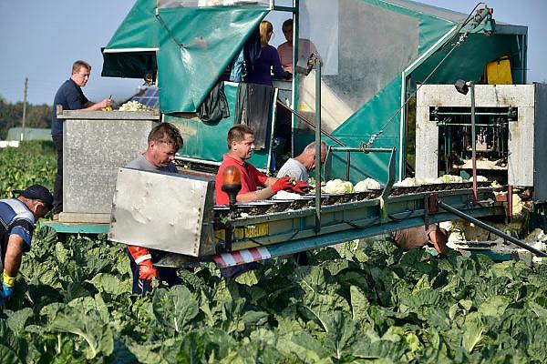 Duitsland, Asperden, 3-10-2014Poolse arbeiders oogsten bloemkool. Deze wordt meteen gehakt, gesneden zodat kleine bloemkooltjes ontstaan die direct door de Nederlandse levensmiddelenfabrikant geblancheerd en ingevroren worden. Het veld ligt tegen de grens met Nederland bij Siebengewald.Farm field of Cauliflowers is harvested.FOTO: FLIP FRANSSEN/ HOLLANDSE HOOGTE