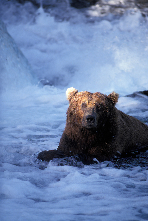 USA, Alaska, Katmai National Park, Grizzly Bear (Ursus arctos) rests in Brooks River while fishing for spawning salmon