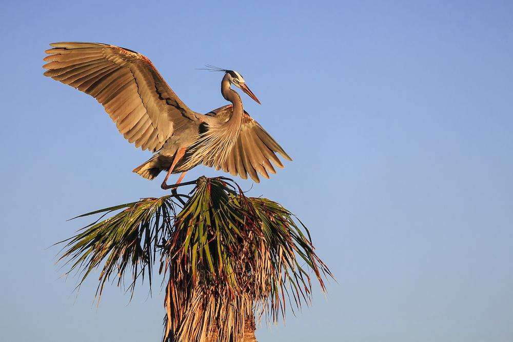 Great Blue Heron landing on palm tree during mating season at Viera Wetlands