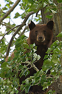 The sharp, curved claws of the black bear gives this bear exceptional tree climbing abilities. They can easily scale any tree stout enough to support their weight with agility and speed.