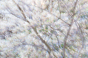 Serviceberry, Amelanchier species, in bloom, Lapeer County, Michigan, multiple exposure