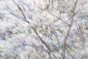 Serviceberry, Amelanchier species, in bloom, Lapeer County, Michigan, multiple exposure