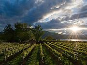 Sunburst over Red Rooster vineyards, Naramata Bench, Penticton, Okanagan, British Columbia, Canada