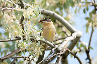 A female Black Headed Grosbeak picks a bill full of flower petals to line its nest.