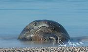 A Galapagos green sea turtle comes ashore on a beach on Fernandina island in the Galapagos archipelago of Ecuador.