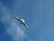 Seagull in flight photographed on the Greek Island of Thasos in the  North Aegean Sea
