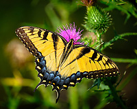 Eastern Tiger Swallowtail Butterfly. Image taken with a Fuji X-H1 camera and 100-400 mm OIS lens