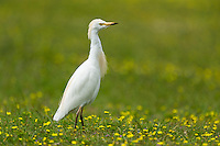 Cattle Egret standing on a green field with yellow daisies, De Hoop Nature Reserve, Overberg, Western Cape, South Africa,