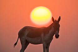 A portrait of an Indian wild ass ( Asinus hemionus khur ) facing us while the golden globe of a setting sun descends above its back , Little Rann of Kutch, Gujarat, India