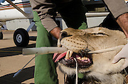 Lion darted for relocation to Malawi (Panthera leo)<br /> Veterinarian Gareth Zeiler intubating anaesthetized lion for flight transportation<br /> Pilansberg Game Reserve<br /> North West Province<br /> SOUTH AFRICA
