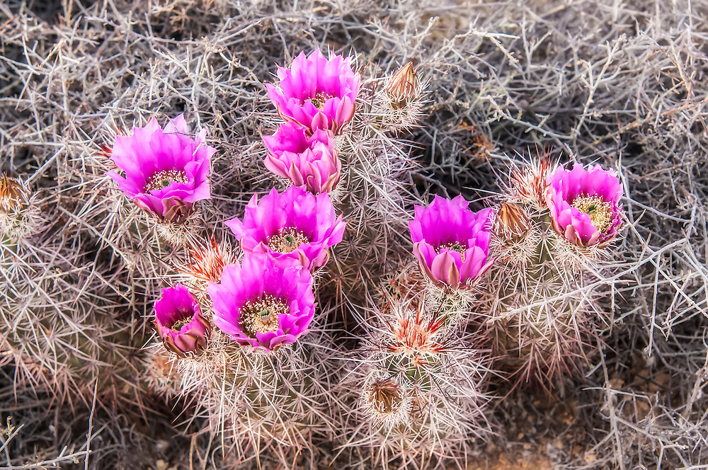 A group of strawberry hedgehog cacti nearly in full bloom in the Mojave desert in Southern California. Like many similar hedgehog species that are closely related, some identification keys are the flatness and color variety, but the sure method is geographical location and the physical attributes of the flowers themselves.