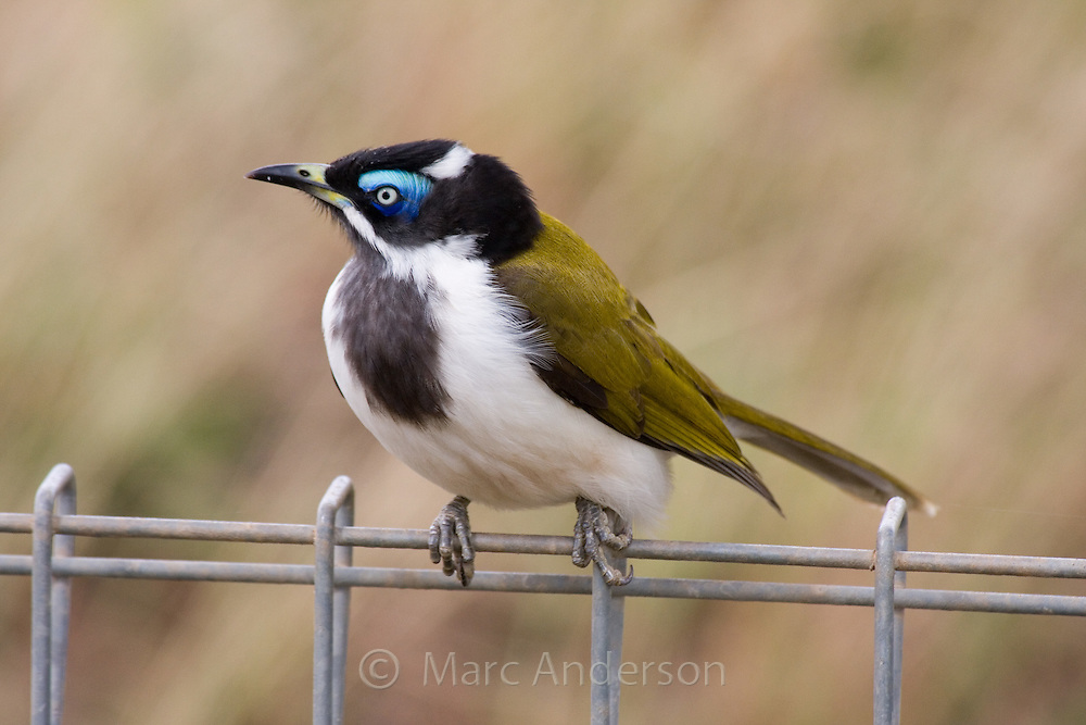 Blue Faced Honeyeater (Entomyzon cyanotis), NSW, Australia