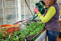 Watering peas sown into gutter pipes  in a greenhouse - Pisum sativum