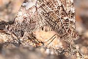 Grayling (Hipparchia semele) butterfly pair mating. Dorset, UK.