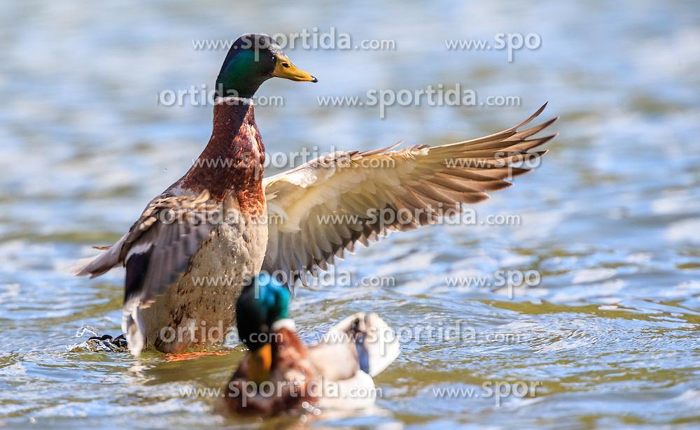 THEMENBILD - eine Ente beim landen im See, aufgenommen am 30. April 2016, am Zeller See, Zell am See, Oesterreich // a duck landing in the Lake Zell, Zell am See, Austria on 2016/04/30. EXPA Pictures © 2016, PhotoCredit: EXPA/ JFK