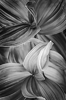 Detail black and white view of a corn lily plant in Utah's Albion Basin during Summer.
