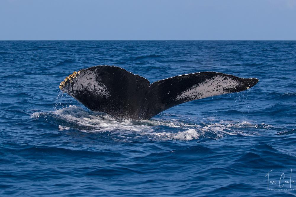 humpback whale ~ Megaptera novaeangliae ~ adult fluking ~ Silver Bank, Dominican Republic ~ www.aquaticadventures.com