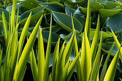 Backlit foliage of Iris pseudacorus 'Variegata' - Yellow flag iris