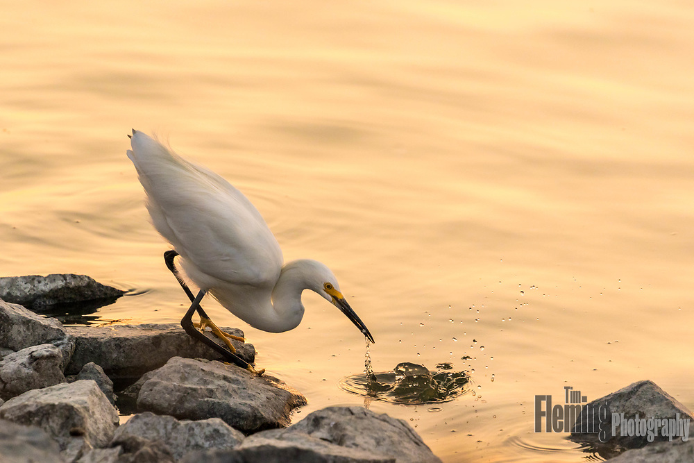 Snowy egret foraging on the shoreline, Las Gallinas Valley Sanitary District, Marin county, CA