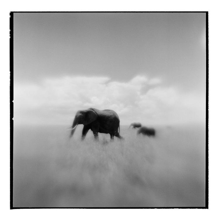 Africa, Kenya, Masai Mara Game Reserve, Blurred black and white image of Elephant herd walking through tall grass on savanna