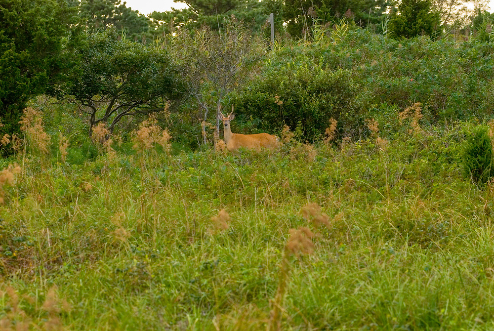 Deer, Quogue, NY