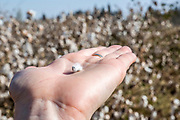 Cotton seed on a palm of a hand in a cotton field