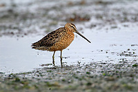 Long-billed Dowitcher, on mud flats at Comox Harbour, Vancouver Island, Canada