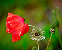 Red Poppy. Image taken with a Fuji X-H1 camera and 200 mm f/2 lens + 1.4x teleconverter (ISO 200, 280 mm, f/2.8, 1/450 sec).